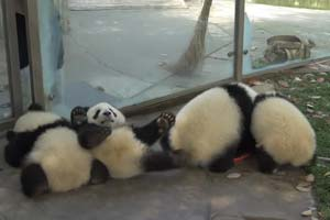 Panda cubs and nanny Mei's war Ⅱ - video